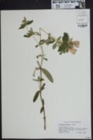 Image of Gentiana catesbaei