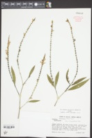 Image of Justicia breviflora