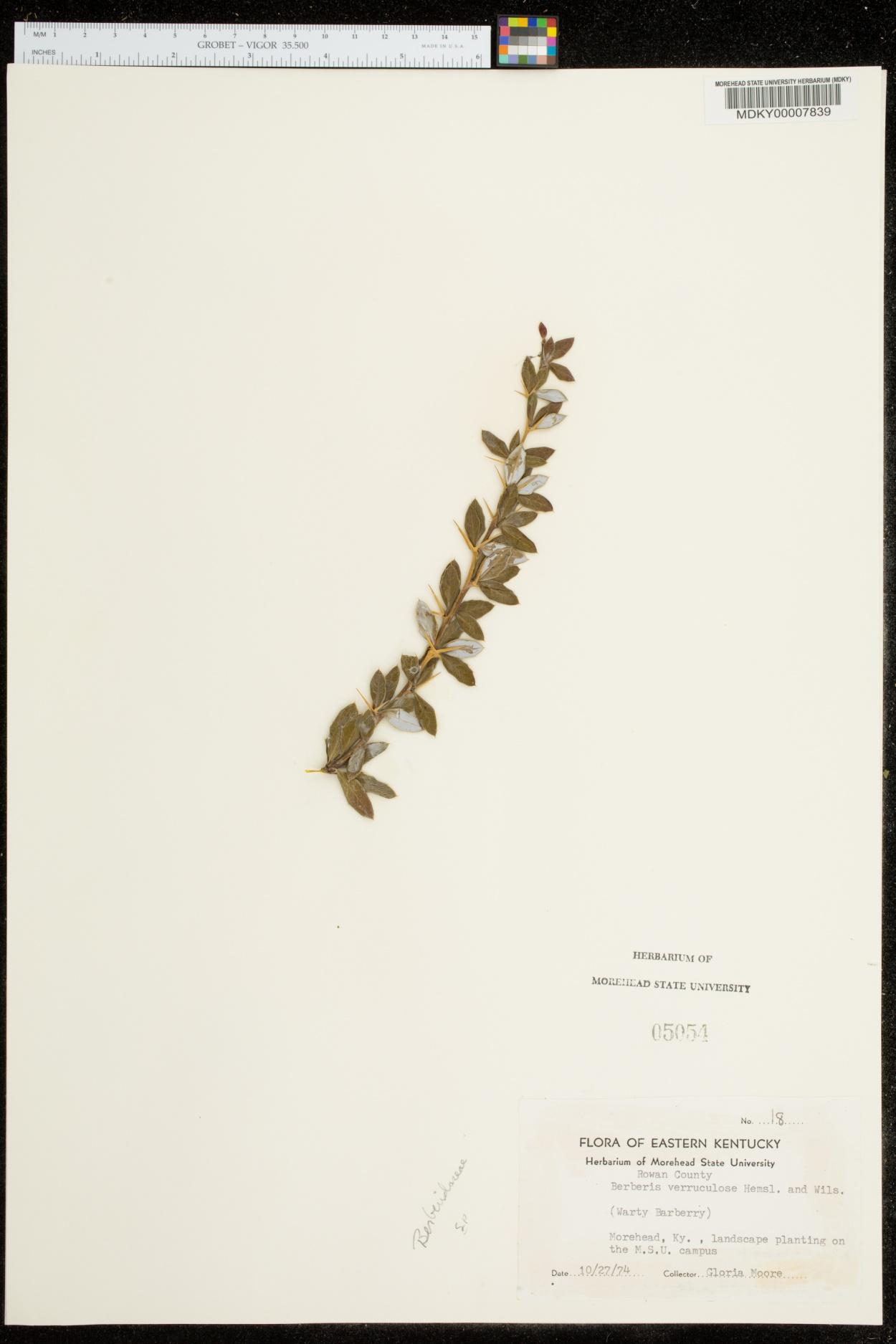Berberis verruculosa image