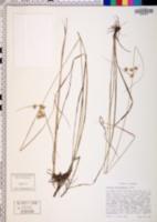 Cyperus pseudovegetus image