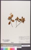 Pittosporum tenuifolium image