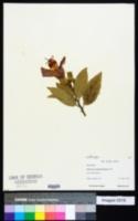 Image of Hibiscus saintjohnianus