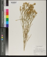Baccharis sergiloides image