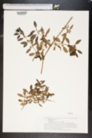 Image of Rubia fruticosa