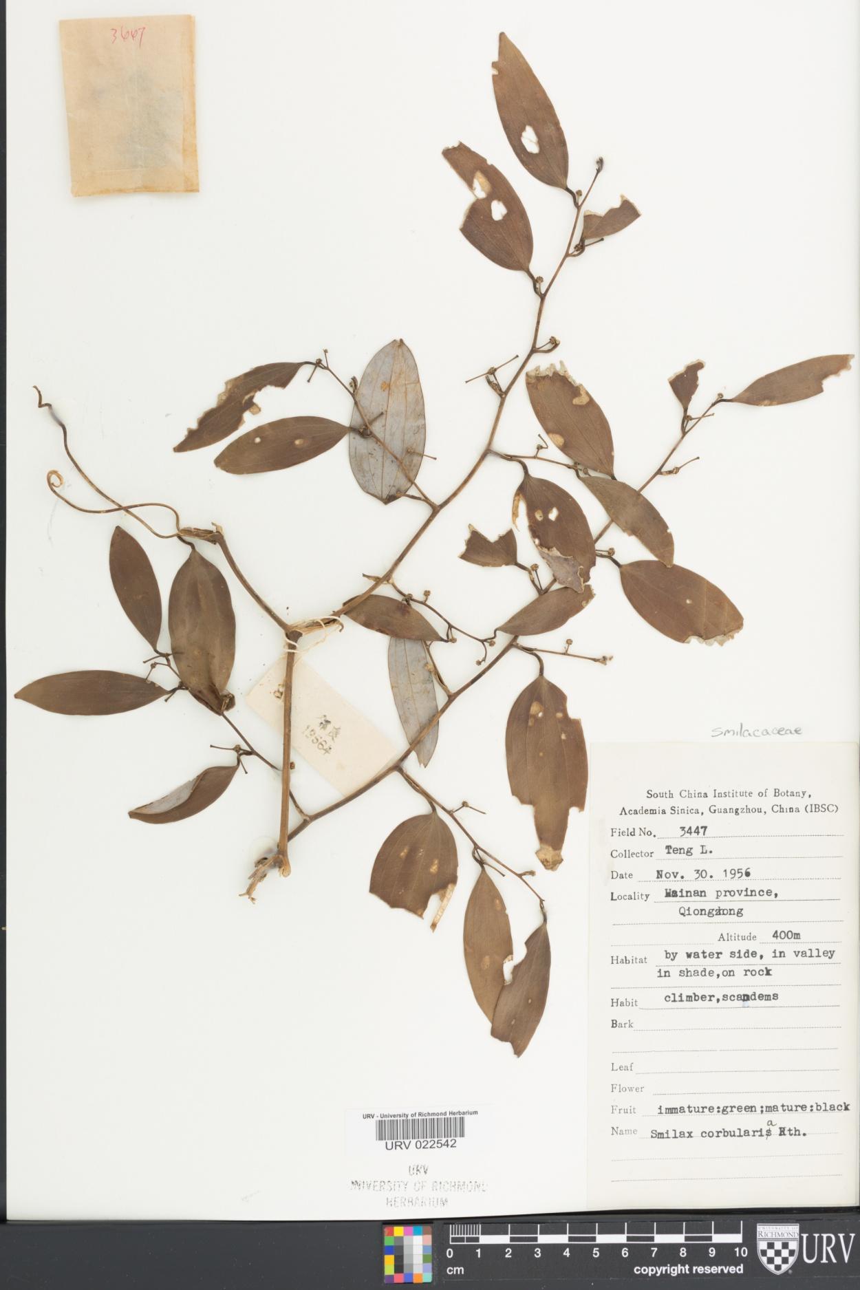 Smilax corbularia image