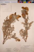 Astragalus pycnostachyus image