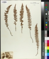 Image of Woodsia polystichoides