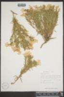 Phlox nana image