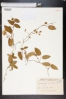 Image of Bradburya floridana