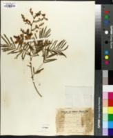 Acacia bonariensis image