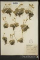 Image of Tanacetum capitatum