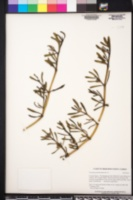 Sesuvium portulacastrum image