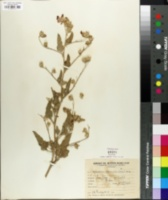 Image of Sphaeralcea bonariensis