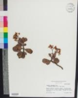 Image of Crassula argentea