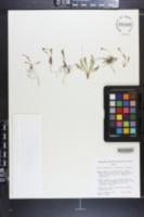 Primula capillaris image