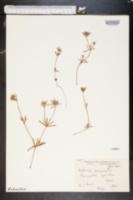 Image of Asperula arvensis