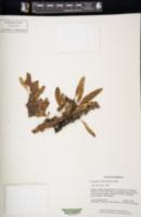 Image of Lecanopteris sinuosa