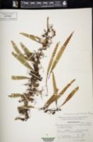 Pleopeltis crassinervata image