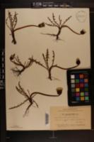 Image of Taraxacum balticum