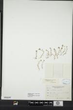 Callitriche palustris image