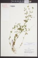 Image of Gratiola floridana