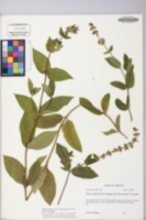 Image of Stachys matthewsii