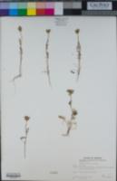 Daucus pusillus image