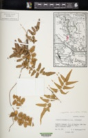 Lygodium auriculatum image