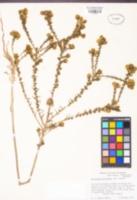 Holocarpha macradenia image
