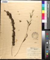 Buddleja alternifolia image