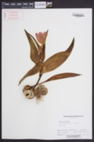 Image of Tulipa greigii