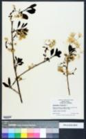Chionanthus virginicus image