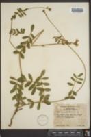 Tephrosia spicata image