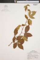 Image of Rubus spiculosus