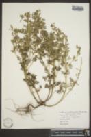 Teucrium botrys image