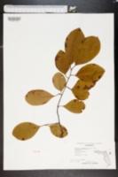 Image of Prunus alabamensis