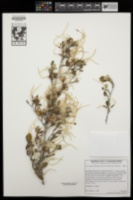 Cercocarpus montanus var. glaber image