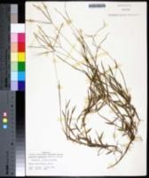 Digitaria longiflora image