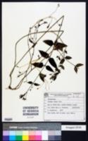 Image of Glandularia lobata