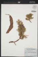 Image of Juniperus grandis