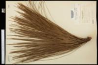 Image of Pinus australis