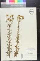Chrysopsis hyssopifolia image