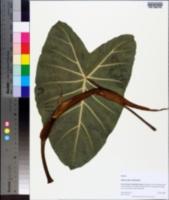 Image of Alocasia odora