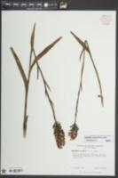 Platanthera cristata image