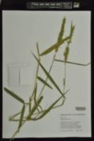 Panicum hemitomon image