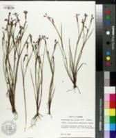 Image of Sisyrinchium langloisii