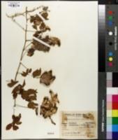 Image of Serjania meridionalis
