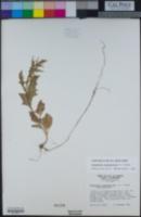 Oxybasis chenopodioides image