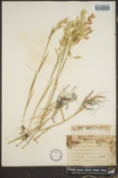 Bromus arenarius image