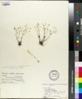 Image of Arenaria uniflora